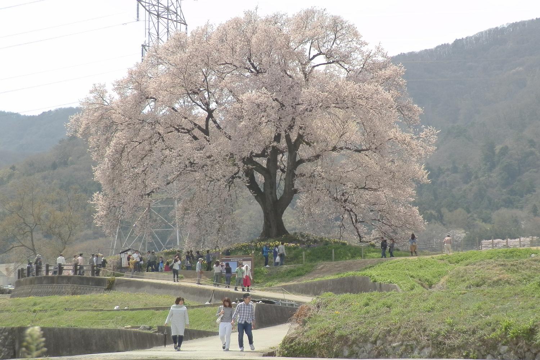 わにつか桜