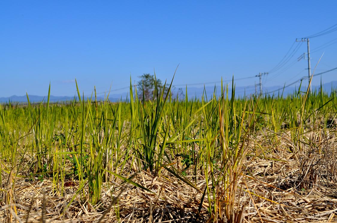 刈り取り後の稲
