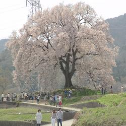 17年4月17日韮崎わに塚の桜開花